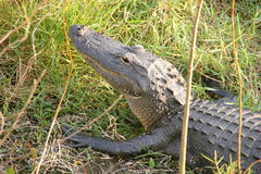 Alligator Head. In the sun Royalty Free Stock Images