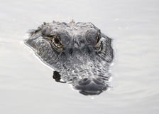 Alligator Head Royalty Free Stock Images