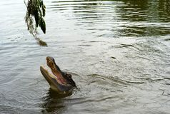 Alligator Head Above the Water stock photo
