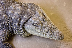 Alligator head from above Stock Photos