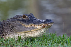 Alligator head close up. In Florida, on a golf course royalty free stock photos