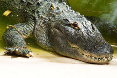 Alligator head closeup Stock Image