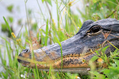 Alligator head everglades close up Stock Photography