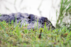 Alligator head everglades close up Stock Images