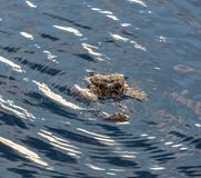 Alligator head surrounded by glistening water in the Florida Everglades stock photo