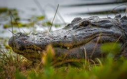 Alligator in het gras Royalty-vrije Stock Foto