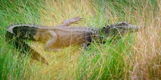 Alligator in het gras Royalty-vrije Stock Foto's