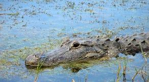 Alligator in het Moeras stock foto's