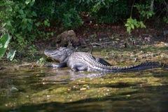 Alligator in het moeras van Florida stock afbeelding