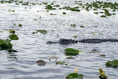Alligator in het Nationale Park van Everglades, Florida, de V.S. Stock Afbeeldingen