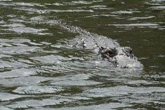 Alligator in het Nationale Park van Everglades, Florida, de V.S. Royalty-vrije Stock Afbeeldingen