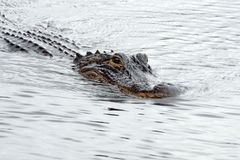 Alligator in het Nationale Park van Everglades, Florida, de V.S. Stock Foto's