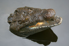 Alligator in het water Royalty-vrije Stock Fotografie