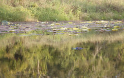 Alligator Hidding in a Bayou. Alligator Alligator mississippiensis hidding in a bayou with only its eyes above water Royalty Free Stock Photo