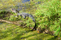 Alligator hiding in a lake Royalty Free Stock Photos