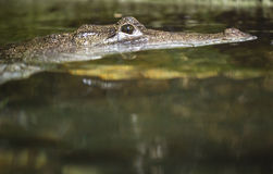 Alligator. Hiding and lurking with his eyes out of the water Royalty Free Stock Photo