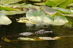 Alligator hunting in Everglades, Florida Stock Photography