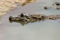 Alligator hunting Stock Image