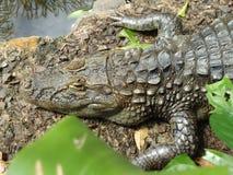 Alligator i en captivité Photographie stock libre de droits
