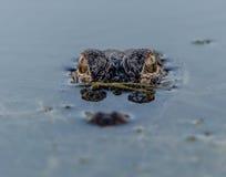 Alligator i ett damm arkivfoton