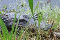 Alligator i ogräsen Arkivfoton