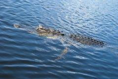 Alligator i vatten Royaltyfri Fotografi