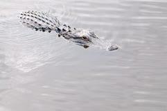 Alligator i vattnet Arkivbilder