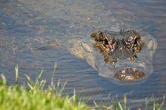 Alligator i vattnet Fotografering för Bildbyråer
