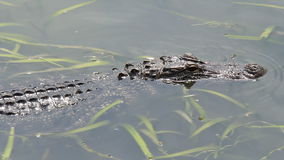 Alligator im Bayou 3 stock footage
