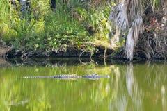 Alligator im grünen Sumpfwasser stockbilder