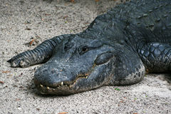 Alligator im Sand Lizenzfreie Stockbilder