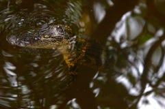 Alligator im Wasser Stockfotografie