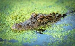 Alligator im Wasser Lizenzfreies Stockfoto