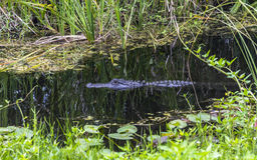 Alligator im Wasser, Sumpfgebiete, Florida Lizenzfreie Stockfotografie