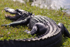 Free Alligator In Everglades Park Royalty Free Stock Image - 37689046