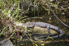 Free Alligator In The Everglades Stock Photos - 46656343