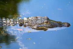 Free Alligator In Water Royalty Free Stock Photography - 5101107