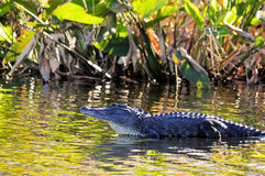 Free Alligator In Wetland Royalty Free Stock Photos - 19813178