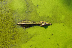 Alligator In Wetland Pond Covered With Duckweed And Swimming Royalty Free Stock Image