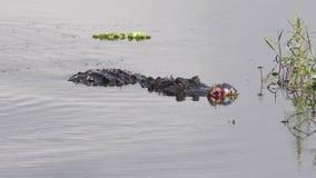 Alligator injured after fight during breeding season stock video footage