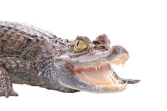 Alligator isolated on a white Stock Image