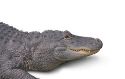 Alligator Isolated on White Stock Photo