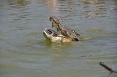 Alligator isst einen Fisch Stockfoto
