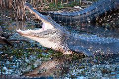 Alligator with jaws wide open. American alligator with jaws wide open at Everglades National park Stock Images