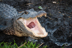 Alligator with jaws wide open Stock Photos