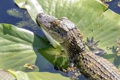Alligator at John Chestnut Sr. Park. Alligator in the water at the John Chestnut Sr. Park in Palm Harbor Florida. This image was taken by Debbie Quick of Debs Stock Image