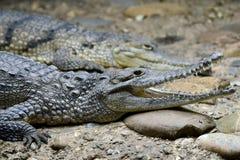 Alligator/kajman/krokodil Royaltyfri Fotografi