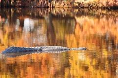 Alligator in Kleurrijk Water Stock Afbeeldingen