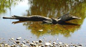Alligator, krokodil, dinosaurus of oud logboek? stock afbeeldingen