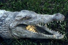 Alligator (krokodil) med den öppna munnen på gräset Arkivfoto